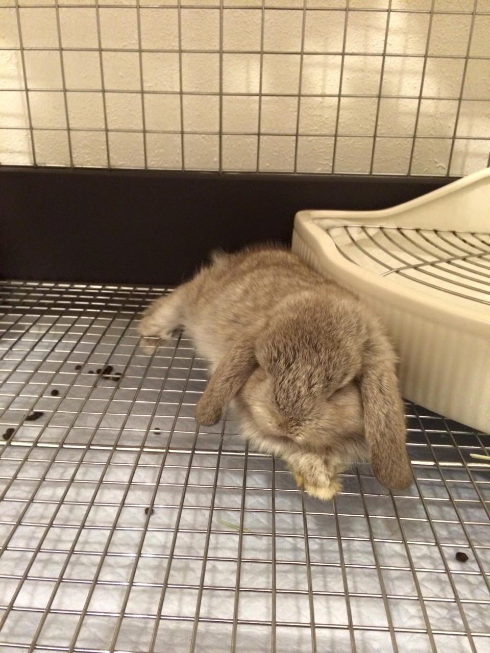 【ズボラ女子とわがままウサギ vol.7】全然違う「けだま」と「けまり」…ウサギの性格について